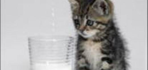 La leche de vaca es buena para el gato? Mentira