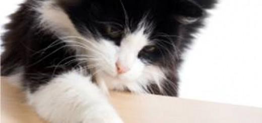 Páladar gato