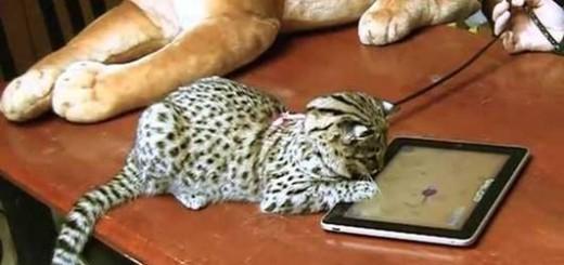 Ipa. Juegos para gatos