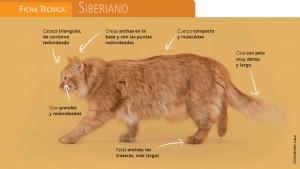 Gato siberiano apariencia