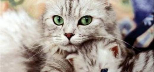 Menopausia en gatos
