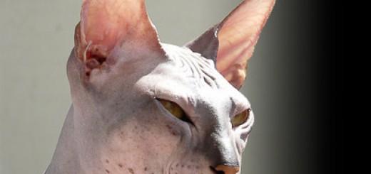 Gatos sin pelo - Don Sphinix