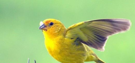 Información sobre el canario