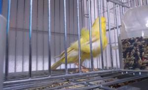La muda del canario