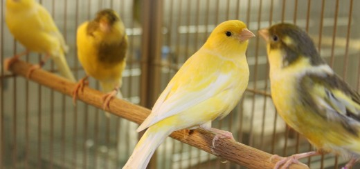 cría de canarios